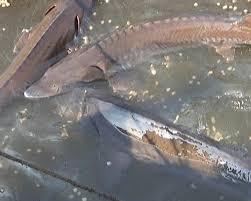 cá tầm ,cá hồi , cá tầm cá hồi sapa , ca tam ca hoi sapa , sapa lao cai cá hồi cá tầm , cá hồi sapa , đặc sản sapa , khach san chaulong , khach san tot nhat sapa4