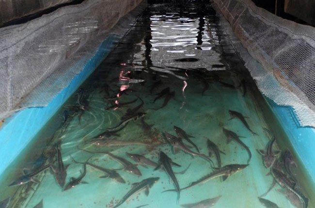 cá tầm ,cá hồi , cá tầm cá hồi sapa , ca tam ca hoi sapa , sapa lao cai cá hồi cá tầm , cá hồi sapa , đặc sản sapa , khach san chaulong , khach san tot nhat sapa 3